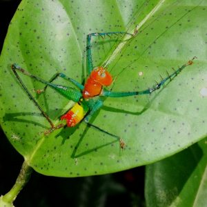 ArachnoscelisferoxnothaPredaceouskatydid