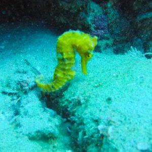 caballito de mar