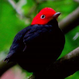 redcappedmanakin (4)